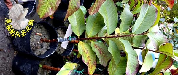 [紅心芭樂樹苗 拔辣苗] 4寸黑盆 室外多年生果樹盆栽 種地上才會比較快結果