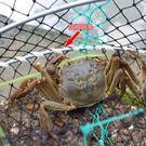 螃蟹籠網海用加重魚網加粗捕蟹網螃蟹籠子淡...