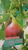 花花世界_水果苗--波姬紅無花果-- 紅色無花果/7吋盆/高30-60cm/Ts