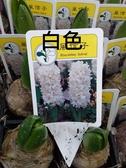 花花世界_季節花卉--風信子(白色)--**球根植物**/3吋盆/高5-10CM/TC
