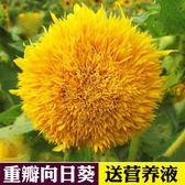 花卉種子 向日葵種籽食用重瓣向日葵種孑太陽花種植春夏秋冬四季播花卉種子-凡屋