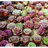 ⓒ混合山地玫瑰種子 (10顆裝)  進口多肉植物種子【F51】