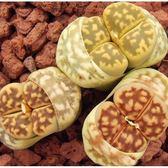CARMO琥珀玉bella種子(10顆裝) 多肉植物生石花種子【E16】