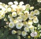 [可泡茶 黃色或白色杭菊花盆栽] 5-6寸盆 室外室內花卉 多年生觀賞花卉盆栽