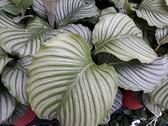 花花世界_觀葉植物--青蘋果竹芋,竹芋科--葉質豐腴/6吋盆苗/高20~30公分/Tm
