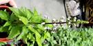 香草植物 化石草 貓鬚草盆栽 5吋大盆活體盆栽, 可食用可泡茶
