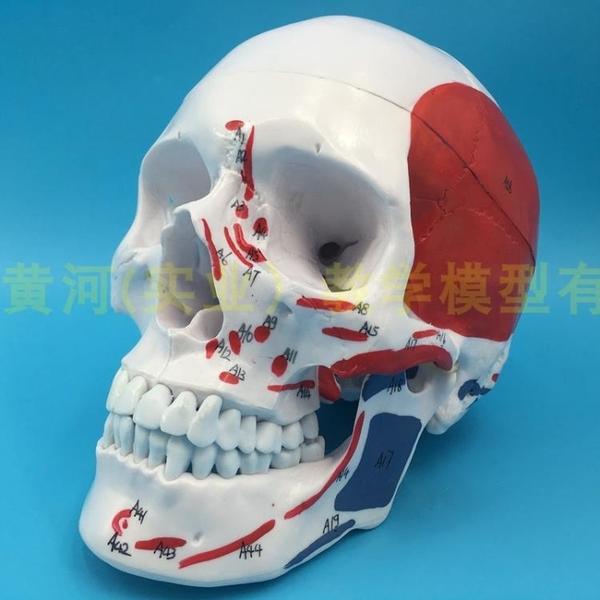 骷髏頭顱骨模型 仿真人體頭骨附肌肉著色 成人一比一  有數字標識