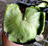 [巨猴鹿角蕨苗] 3.5-4吋 觀賞鹿角蕨盆栽 活體室內植物盆栽