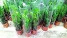 花花世界_室內植物--金錢樹,常綠觀葉植物--葉子油亮清潔空氣 /6吋盆苗/高40~50公分/Tm
