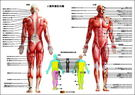 肌肉圖(肌肉解剖圖/家樂美健康事業榮譽出...