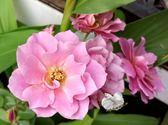 紫色月季 月季花玫瑰花盆栽 8吋盆活體盆栽 多年生 四季開花