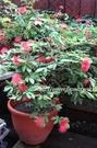 花花世界_襯景植物--**粉撲花(美洲合歡)**--艷紅合歡/5-6寸/高20-30公分/TS