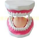 放大版口腔護理模型 刷牙指導模型牙齒模型口腔保健教學牙解剖
