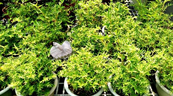 活體 [ 觀音竹 小竹子盆栽 ] 室外植物 8吋盆栽 送禮盆栽
