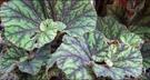 花花世界_綠籬植物--蛤蟆海棠--雜交種則葉色5吋盆/高15公分/Ts