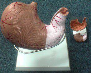 JP-255B成人胃模型(實用的人體模型/教學模型/解剖模型/器官模型/內臟模型)
