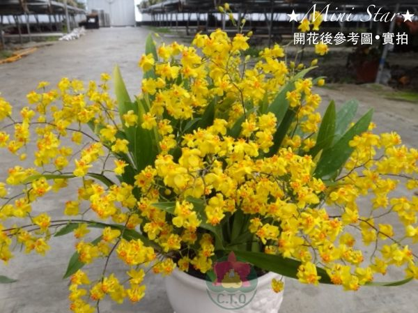 ★Mini Star★ 千姿蘭園Chian-Tzy Orchids 迷你蘭花 文心蘭 Oncidium -千姿黃金