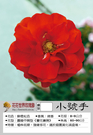 花花世界_玫瑰苗--小號手,Trumpeter--強健多花/4吋盆苗/高10~30公分/Tm