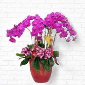 團圓富貴招財 祝賀  送禮 上等高山等級 桌上型蝴蝶蘭 蘭花(約8株)