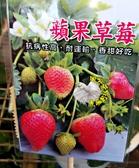 [蘋果草莓苗] 2.5-3寸盆 新品種草莓苗 ~換大盆子才會比較快開花結果~