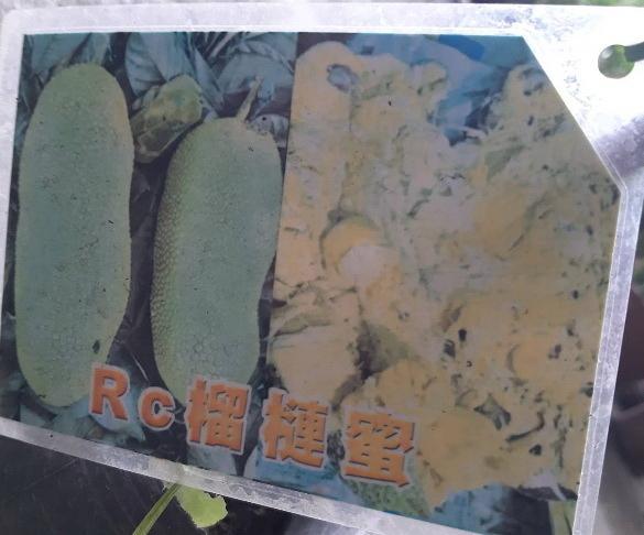 花花世界_水果苗--Rc榴槤蜜--鮮甜好滋味/4吋盆/高30-40公分/Ts