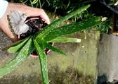 活體 [蘆薈] 室內室外植物 3吋盆栽 送禮小品盆栽 可淨化空氣