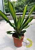 [巴西鐵樹粗勒草] 6吋盆 活體盆栽 送禮盆栽 室內盆栽 半日照佳