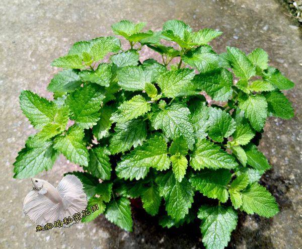 [大檸檬香蜂草盆栽] 5-6吋盆活體香草植物盆栽, 可食用可泡茶
