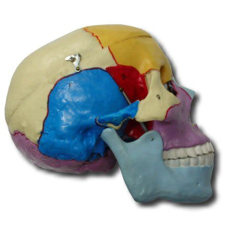 JP-216成人骨塊分色頭顱骨模型(實用的人體模型/人骨模型/骨骼模型/頭骨模型/教學模型/頭顱模型)