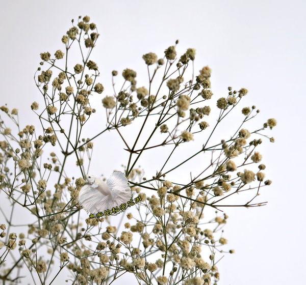 [白色] 乾燥花滿天星花束 真花乾燥製成 ☆插花.天花板裝飾, 居家.店面.櫥窗擺飾.園藝☆