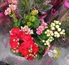 [3色重瓣長壽花] 5寸盆 室外/室內花卉 多年生觀賞花卉盆栽 半日照佳