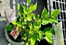 活體 [ 桑葚樹 桑樹 ] 室外植物 6...