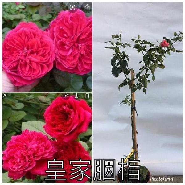 1箱限1盆[皇家胭脂] 8吋盆嫁接樹玫瑰花盆栽 幾乎四季開花~務必先問有沒有貨~花牆.庭院拱門