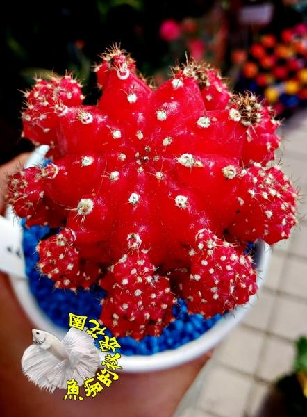 [大紅色 大緋牡丹仙人掌] 3.5吋盆 室外植物活體盆栽 嫁接仙人掌 半日照佳