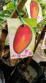 ** 水蜜桃芒果 ** 4.5吋盆/高40-50cm OvO