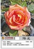 花花世界_玫瑰苗--陽光,大花矮種--微香/3.5吋盆苗/高15-20公分/Tm