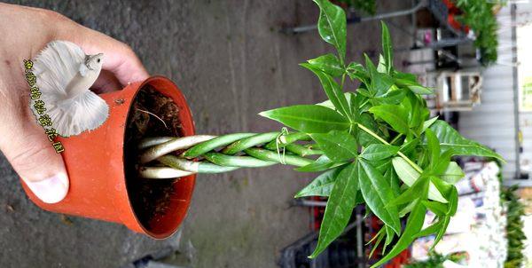 活體植物 [編織造型馬拉巴栗 美國花生 發財樹] 室內室外皆可 3吋盆栽