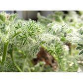 ⓒ羽葉洋葵種子(3顆裝) 塊根種子【B33】