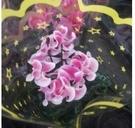 花花世界_季節花卉--仙客來(紅白色)--**養護特別容易**/5吋盆/高10-25CM/TC