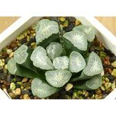 CARMO雪國萬象種子(3顆裝) 百合科種子【H16】