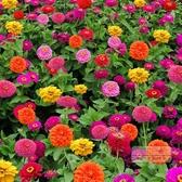 花卉種子 百日草花種子 四季易播步步高花卉種子 春夏秋種百日菊花籽-三山一舍