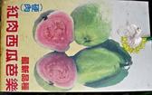 [紅肉西瓜芭樂樹苗 拔辣苗] 4寸黑盆 室外多年生果樹盆栽 種地上才會比較快結果