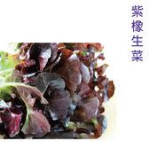 預購 水耕蔬菜-紫橡生菜(150g)