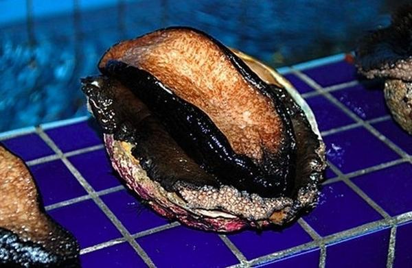【禧福水產】澳洲超大黑鮑魚/週四到港◇$特價3200元/1kg/每顆約400g◇最低價 日本料理法國