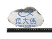1D6B【魚大俠】FH060大比目魚-切片A35N (半肚洞/350g/冰25%/片)