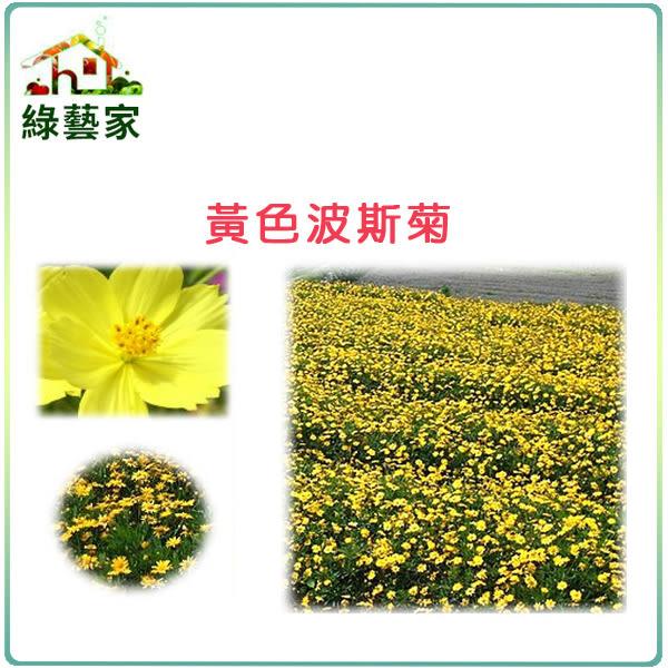 【綠藝家】大包裝H07.黃色波斯菊種子80克