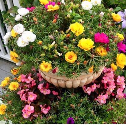 花卉種子 花卉盆栽四季滿天星種籽藍色種孑四季易種室內套裝滿天星種子-凡屋