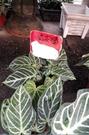 觀葉植物 ** 水晶花燭 ** 6吋盆/ 高20-30公分/ 中小型觀葉花卉【花花世界玫瑰園】m