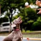 爆爆球高彈輕巧耐咬磨牙寵物狗邊牧柯基金毛玩具球【小獅子】