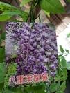 花花世界-八重黑龍藤-美株-花型如牡丹-藤蔓-6吋盆/6尺高/TP